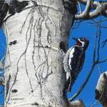 large_cartwright_woodpecker_0