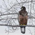 large_EAGLE IN TREE